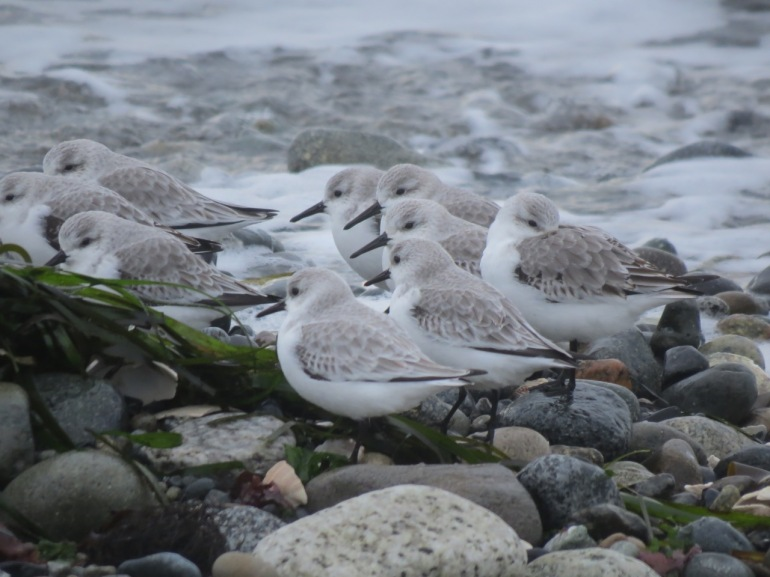 Sanderlings, Point Roberts, Wash.