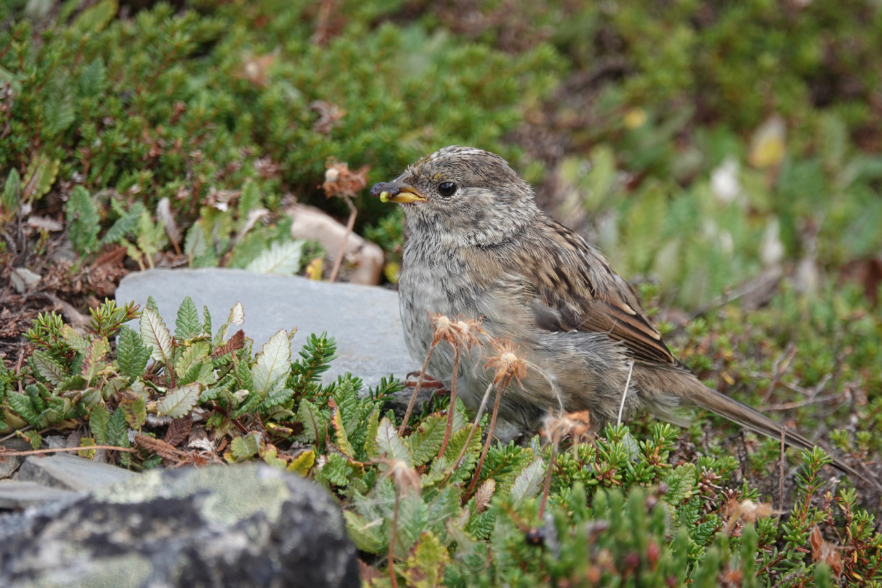 Golden-crowned Sparrow (juv) – Edith Cavell hike